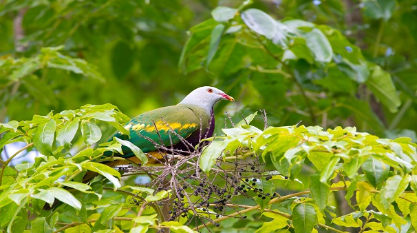 A Woompoo Fruit Dove Sitting on a Fig Tree, Queensland, Australia