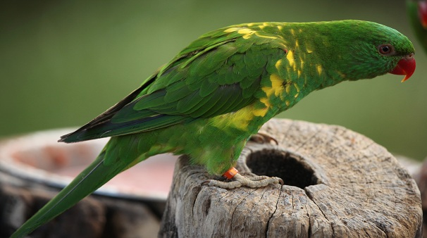 Photo: Scaly-Breasted Lorikeet